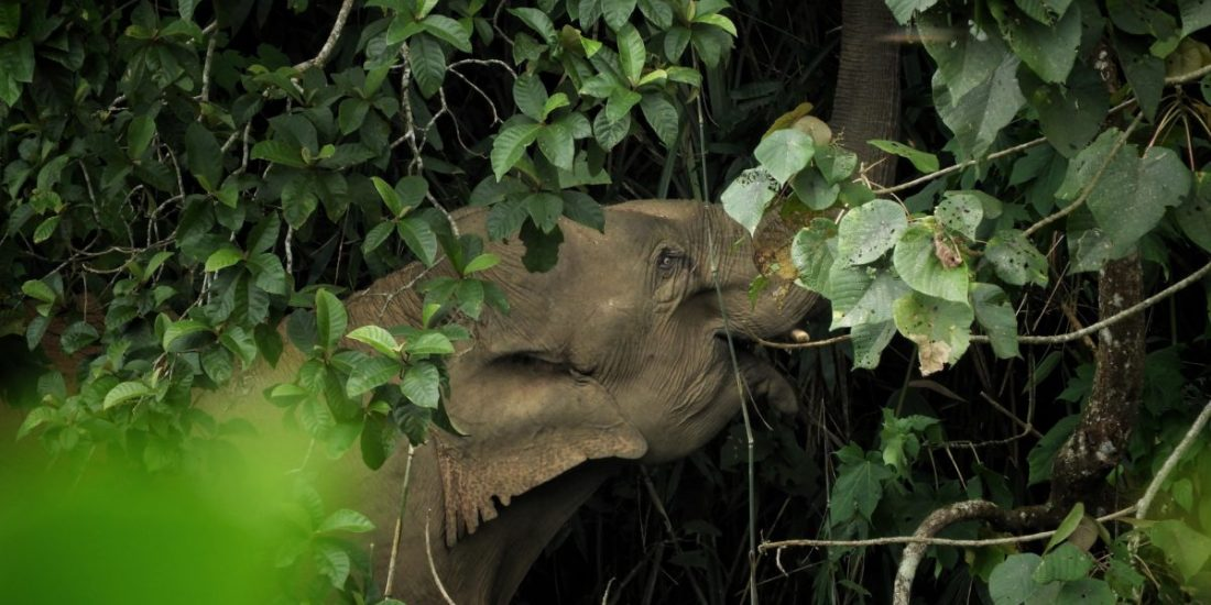 Elephants can adapt to human habitation, but sirens stress them out