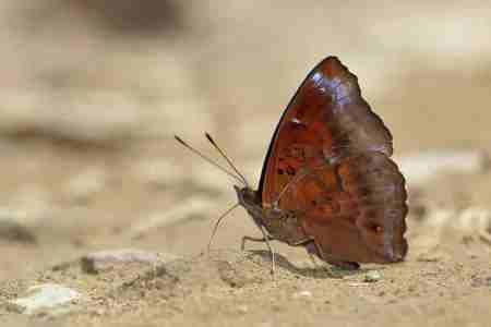 Assam Black Prince_Butterfly