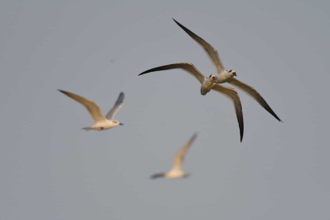 Indian Skimmer in flight
