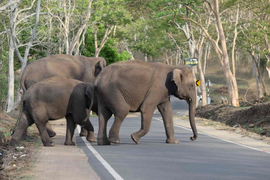 Elephants crossing - Roads most travelled
