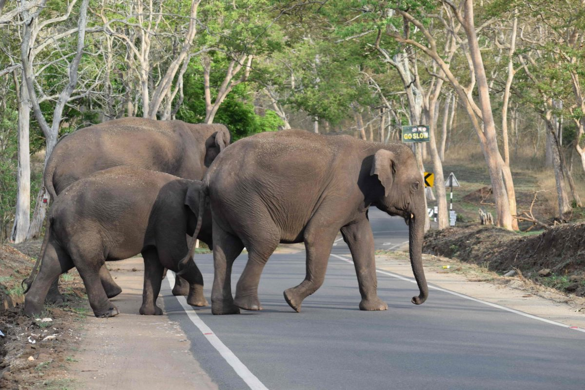 Elephants crossing - Roads most travelled