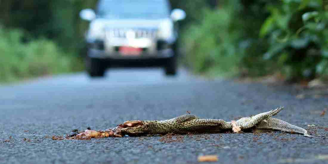 Roadkill  - the innocent victims of speed