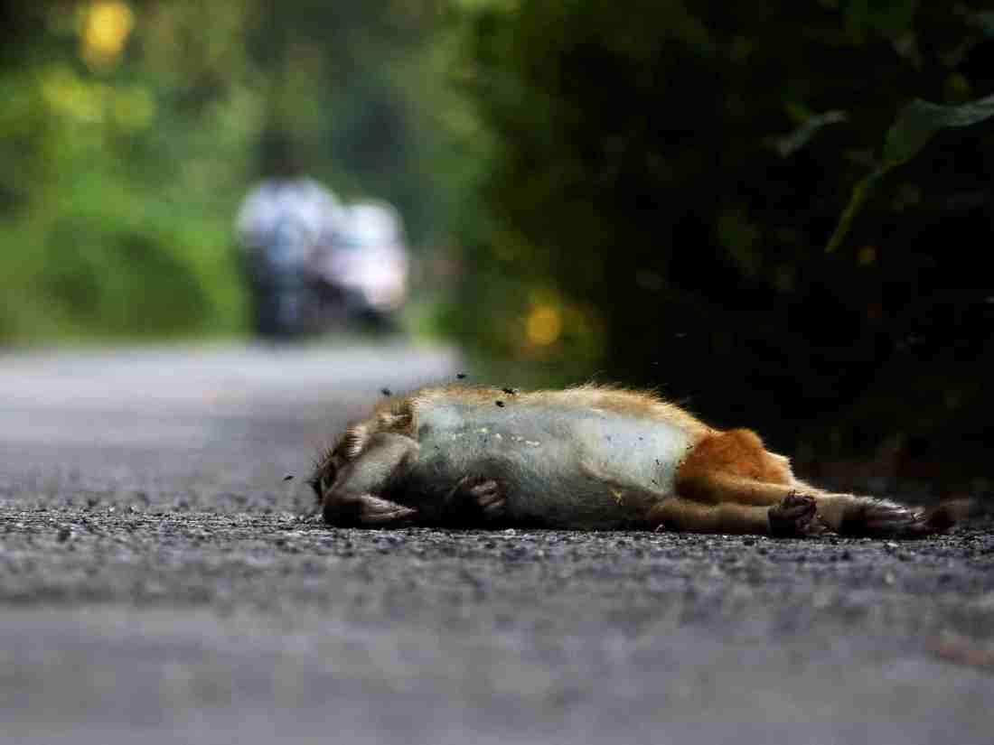 Rhesus Macaque_Roadkill