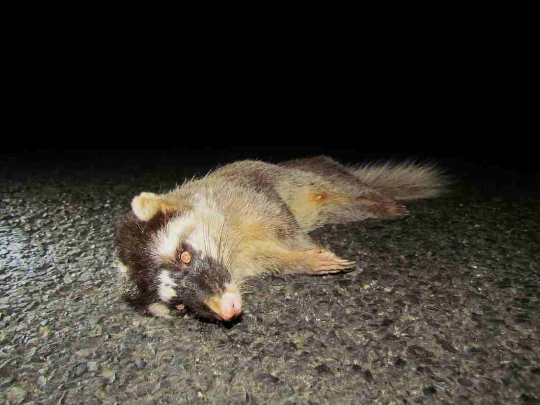 Small-toothed ferret badger_Roadkill