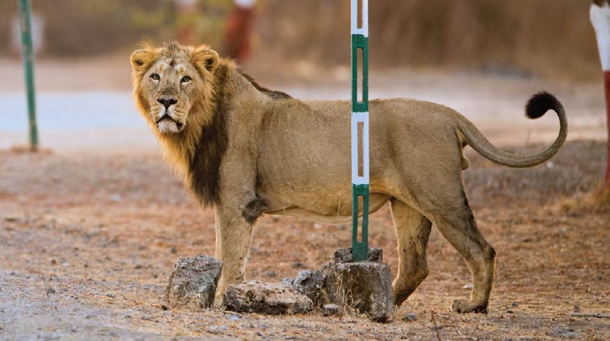 An adult male lion gazes at visitors in Gir National Park