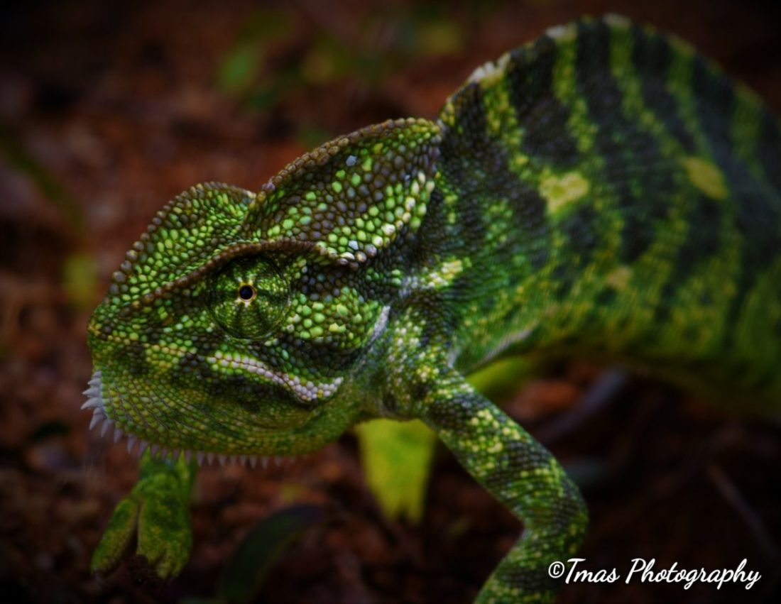 Indian chameleon - front view