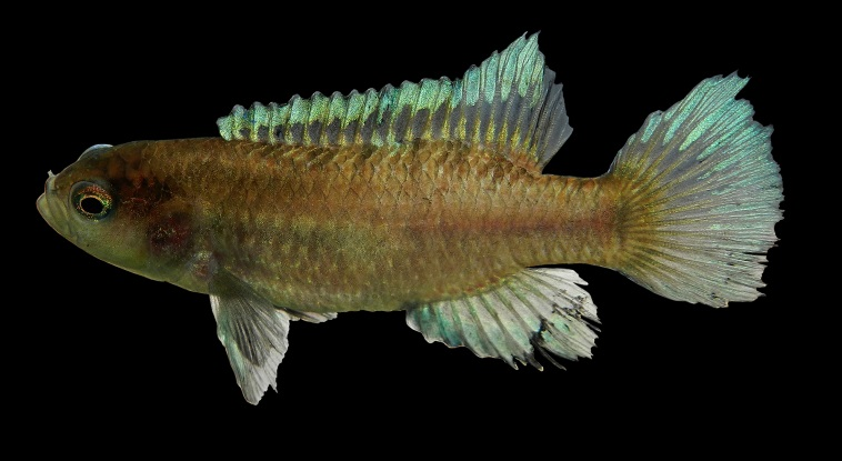 A tiny new fish discovered in a secluded stream in the Western Ghats