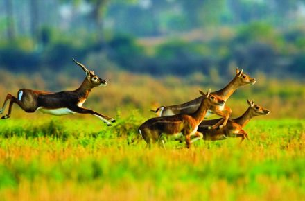 Blackbucks inhabit grasslands and lightly wooded country, areas where they can find ample spaces to run freely.