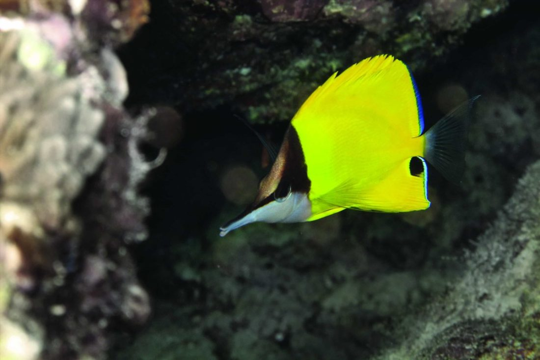 Triangle Butterflyfish
