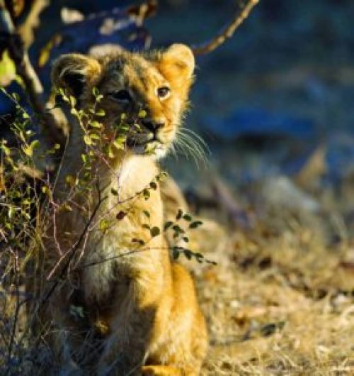A lion cub looks curiously as its eyes glint in the morning sun. A flourishing recruitment was key for the survival of Asiatic lions