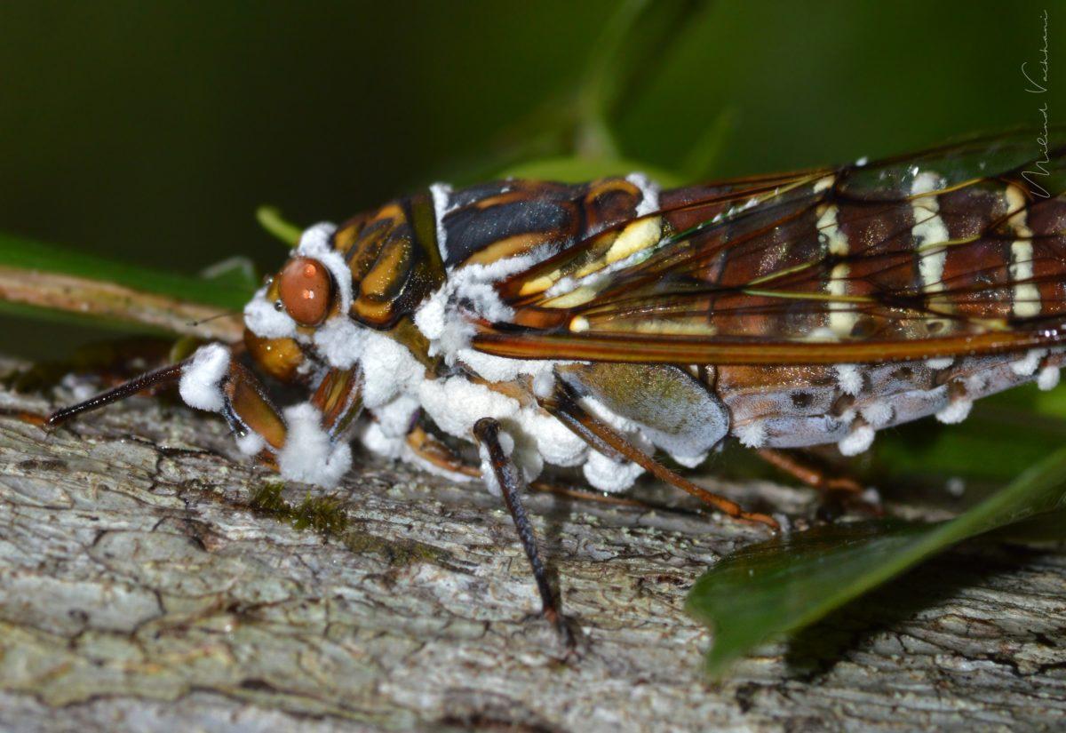 Pathogenic Fungus on the Cicada