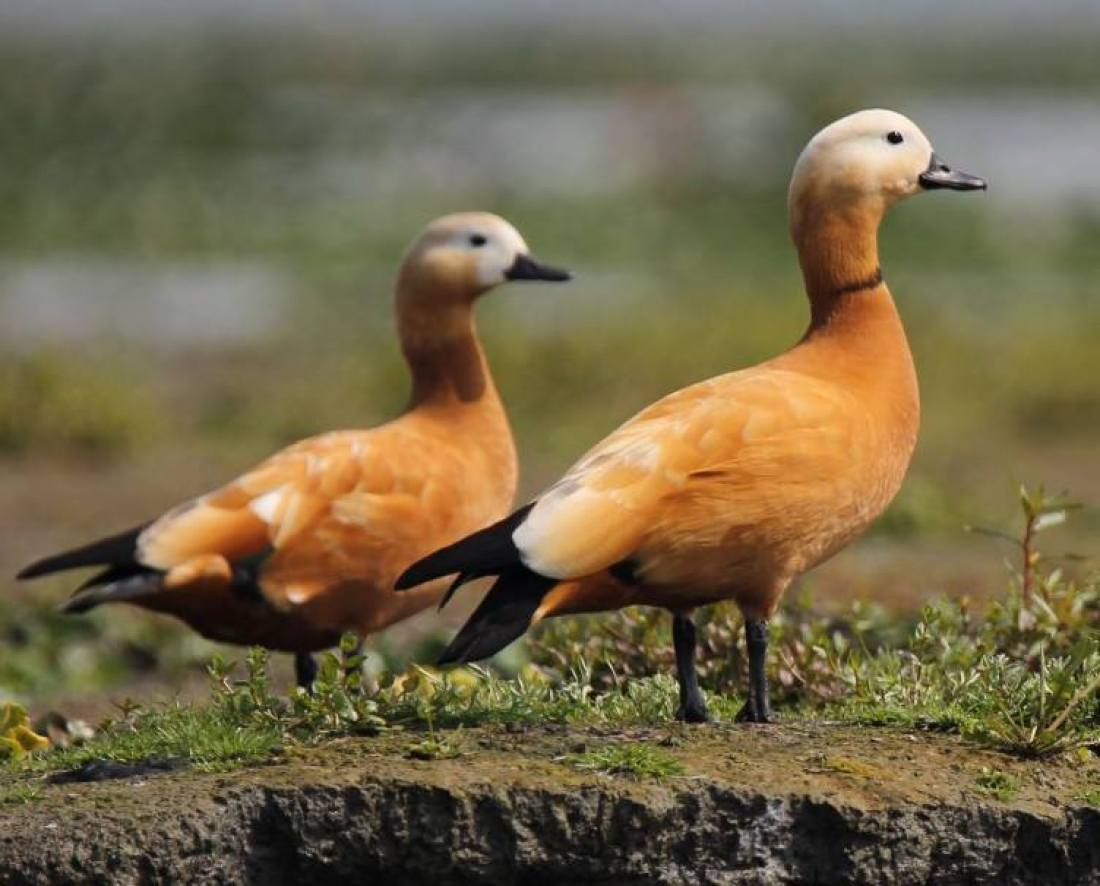 Ruddy shelduck by Nikhil Bhopale