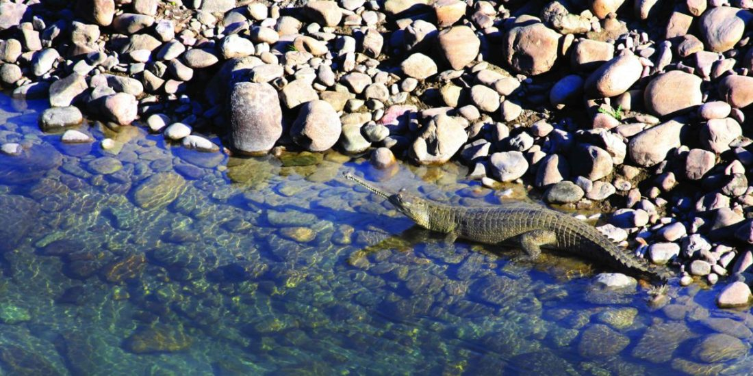 Gharials are usually found in riverine habitats with sandy banks. The rivers in Corbett mostly have rocky shores with small sandy pockets in between, but the Gharials have made themselves at home here.