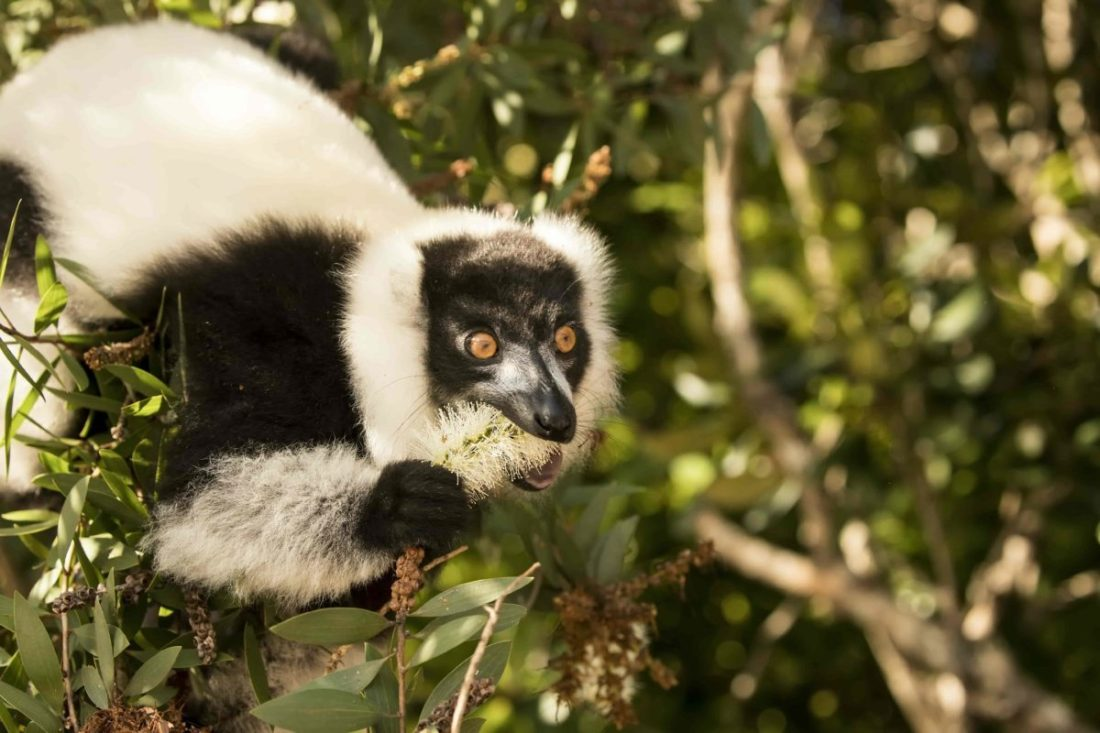 https://www.saevus.in/in-search-of-the-lemurs-of-madagascar/