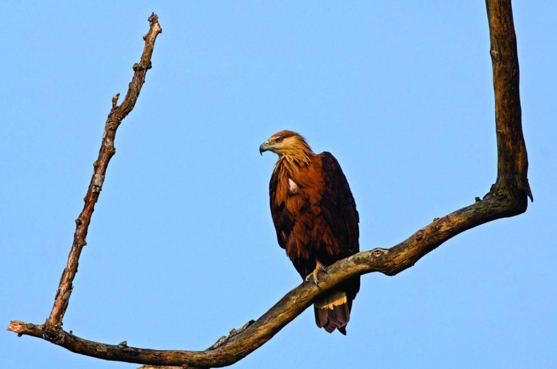 Pallas' Fish-eagle