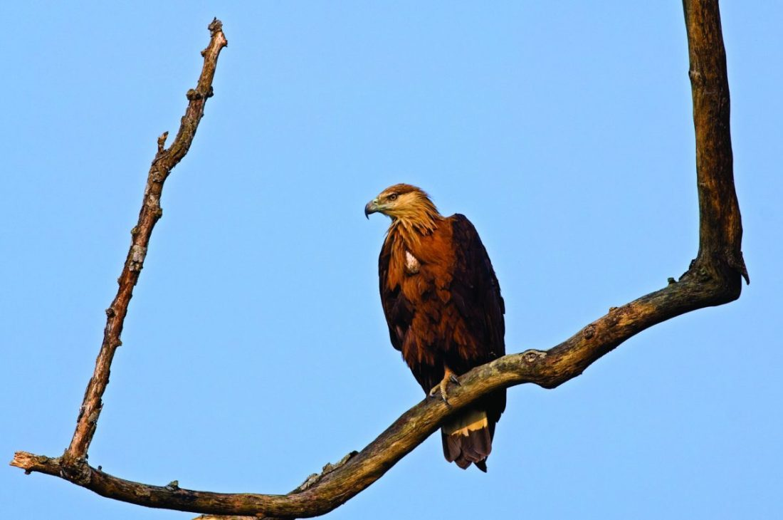 Pallas' Fish-eagle