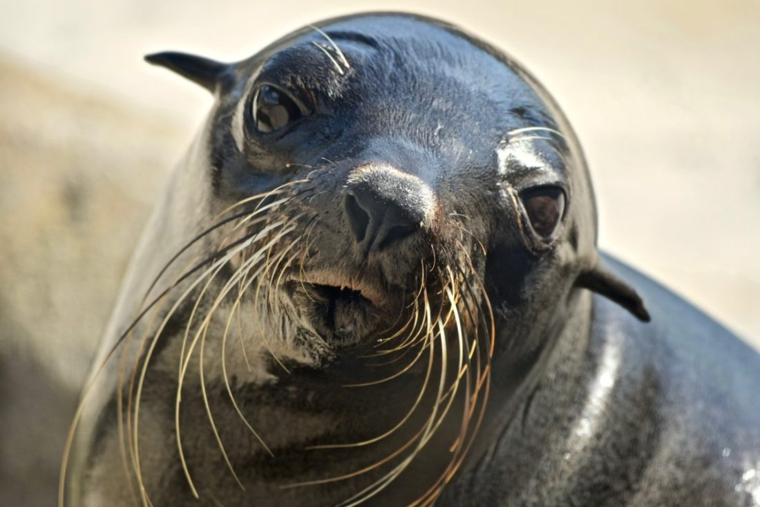 South American Sea Lion: A brief tale