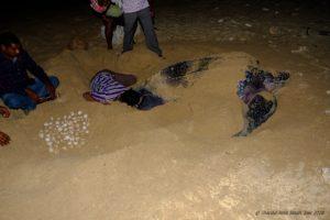 A Full-moon Night with the Leatherbacks of Galathea
