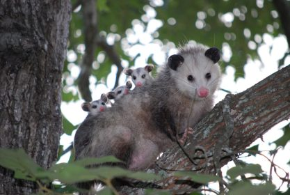 Playing Possum
