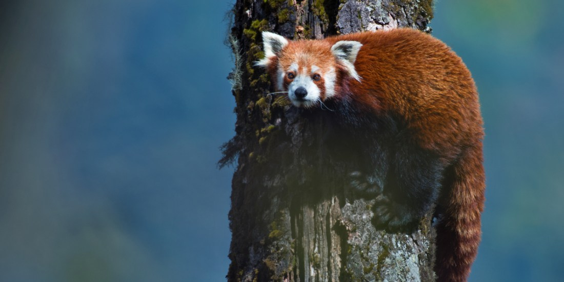 Tagging Red Riding Hood – the Red Panda