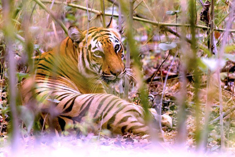 Climate change imperils Sundarbans tiger habitats