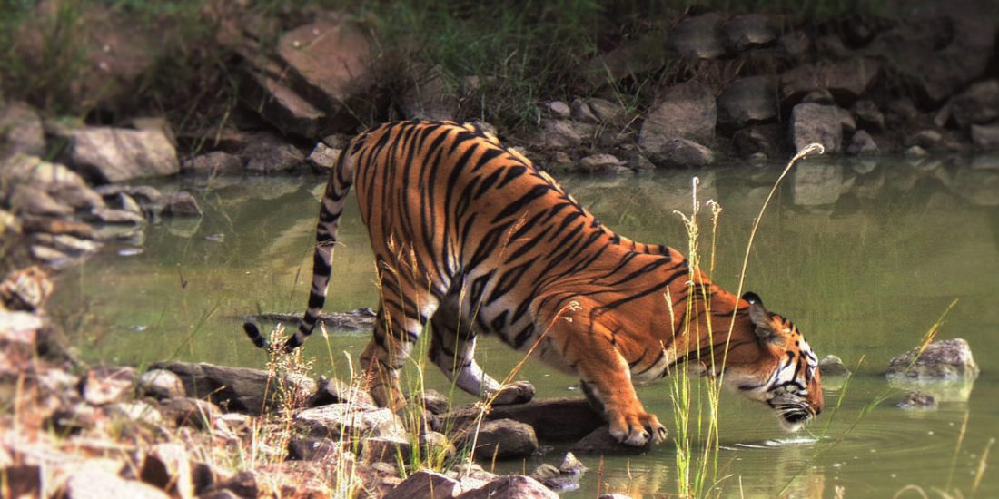 A Tryst with the Tigers of Tadoba