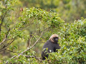 The not so common Langur of Blue Mountains