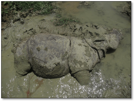 Vets rule out poaching and disease in recent death of rare Javan rhino
