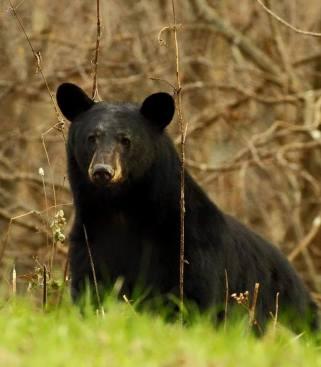 Hiking among bears in Shenandoah National Park