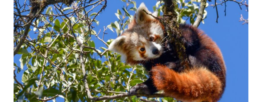 Habre's Nest- a paradise for the Red Panda