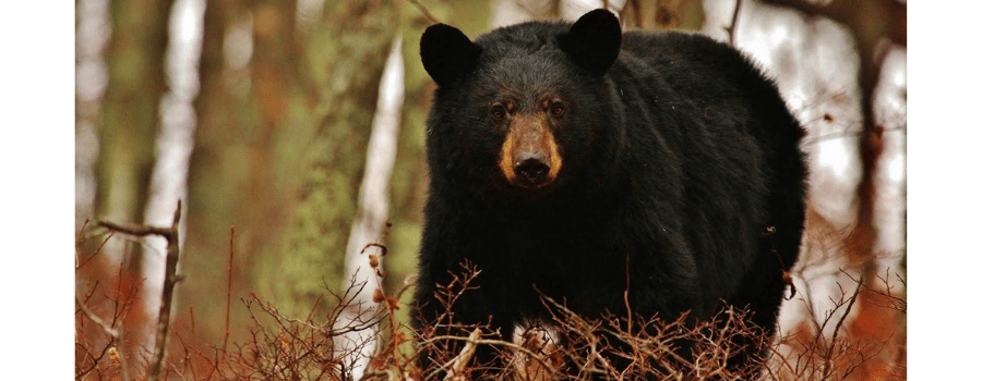 Hiking among bears in Shenandoah National Park