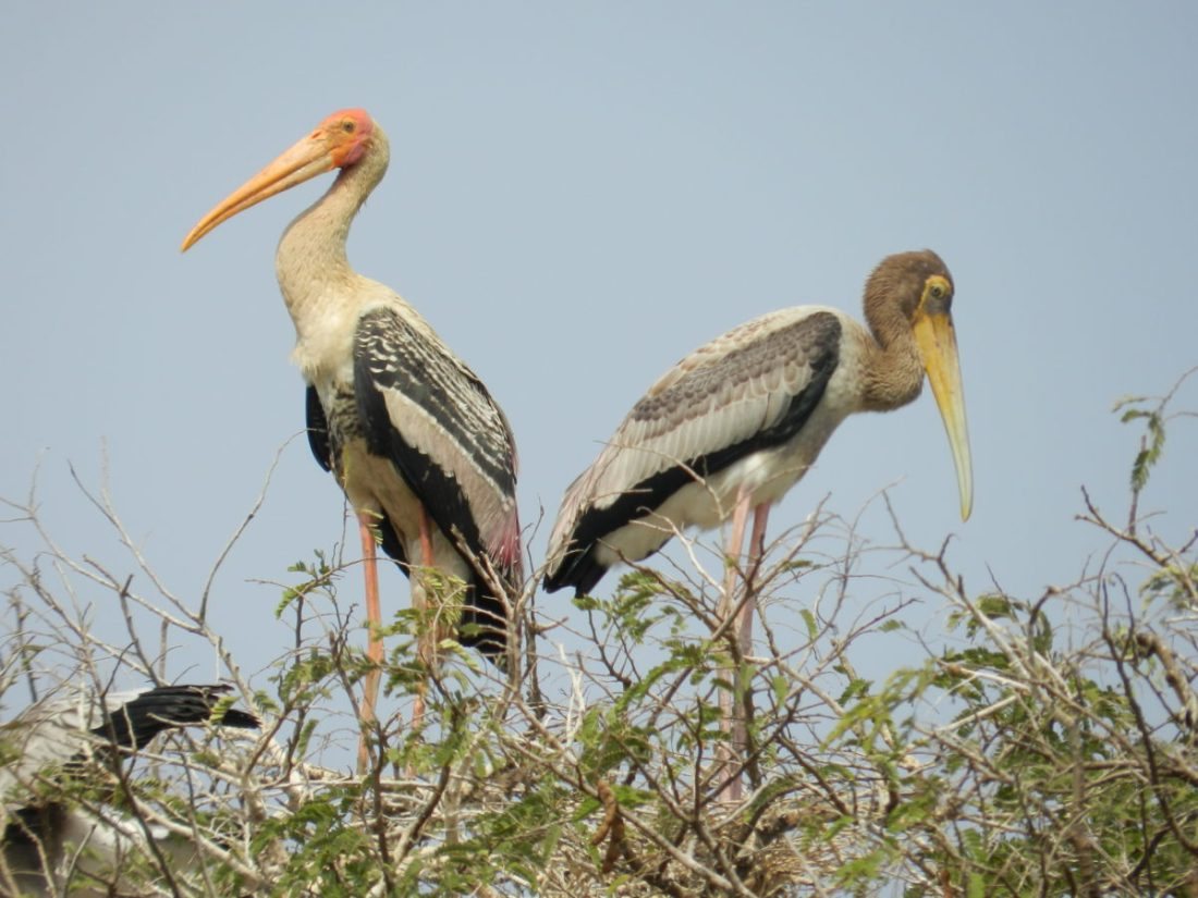 SAFE HEAVEN: TELINEELAPURAM FOR PELICANS AND PAINTED STORKS
