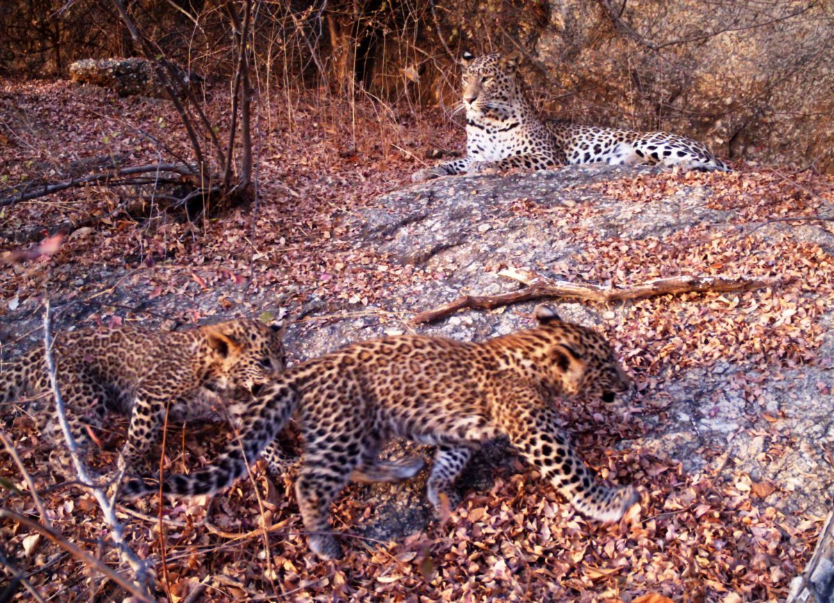 Leopards in the land of Shepherds