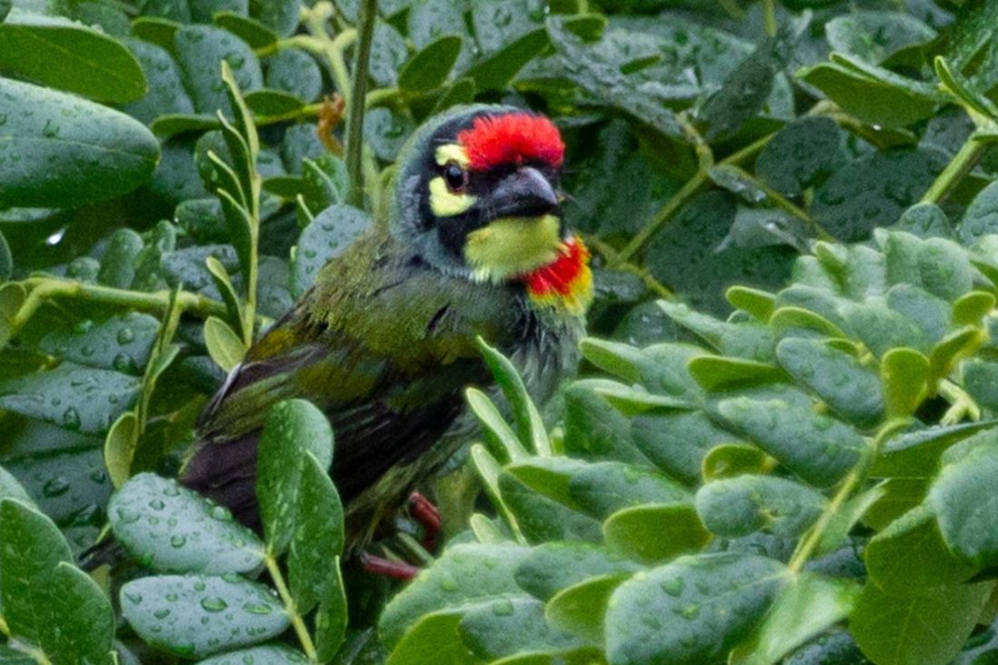 Lock-down photography – Coppersmith Barbet