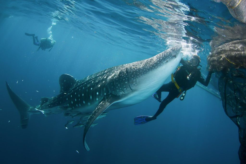 Celebrating the Whale Sharks