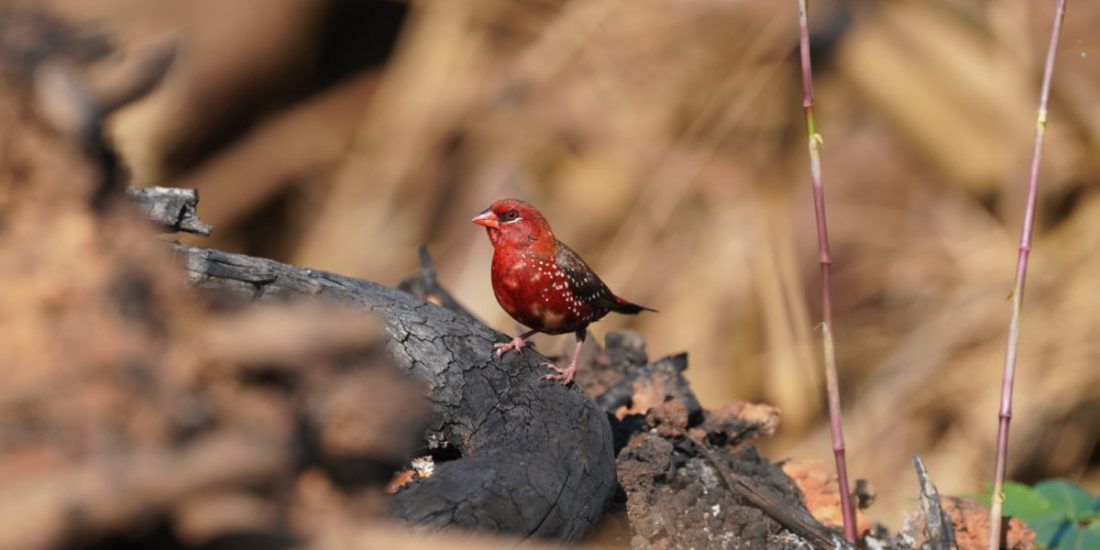 Red Munia tales