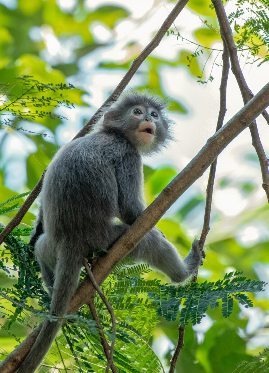 Save Us – Cry of the Phayre's Leaf Monkey