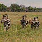 Zebra foals are protected by mothers, the other mares and the head stallion of the group