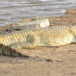 Crocodiles are large aquatic reptiles