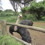 Ostrich is a flightless bird