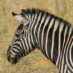 Quagga Project breed zebras that are similar to the quagga that became extinct in the 19th century