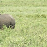 Two of the species of rhino are native to Asia