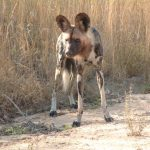African wild dog is one of the rarest carnivores in Africa