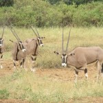 Beisa oryx is also known as The East African oryx