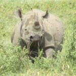 Two of the species of rhinoceros are native to Africa