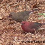 http://www.ontdekkenya.com/E/bird-photography/common-birds.html