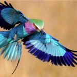 http://buzzkenya.com/10-facts-lilac-breasted-roller-national-bird-kenya/