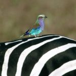 http://www.animalhi.com/Birds/birds/birds_animals_zebras_kenya_lilacbreasted_roller_1920x1080_wallpaper_13097