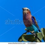https://www.shutterstock.com/search/kenya+birds