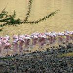 Flamingos on the shoreline
